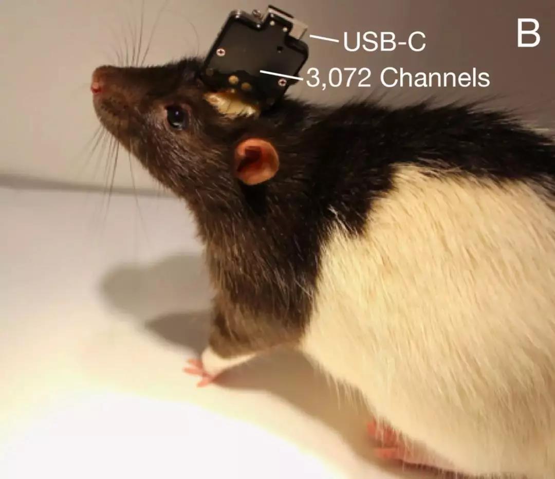 Neuralink 制造的嵌在实验室老鼠身上的系统,包含 3072 个电极通道。