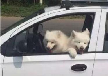 百度无人车参加驾照考试,司机竟然是两只汪星人