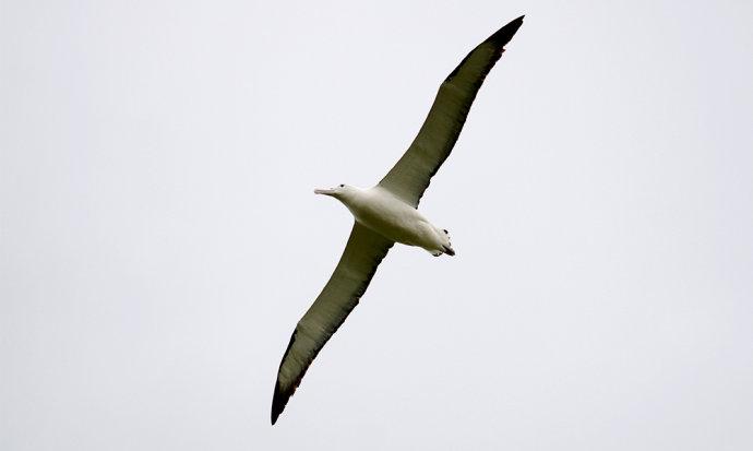 信天翁的飞行能力是有目共睹的,但当它落了地之后,你看过它走路吗?