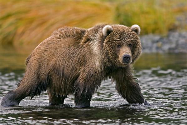 柯迪亚克岛上生存着的柯迪亚克熊